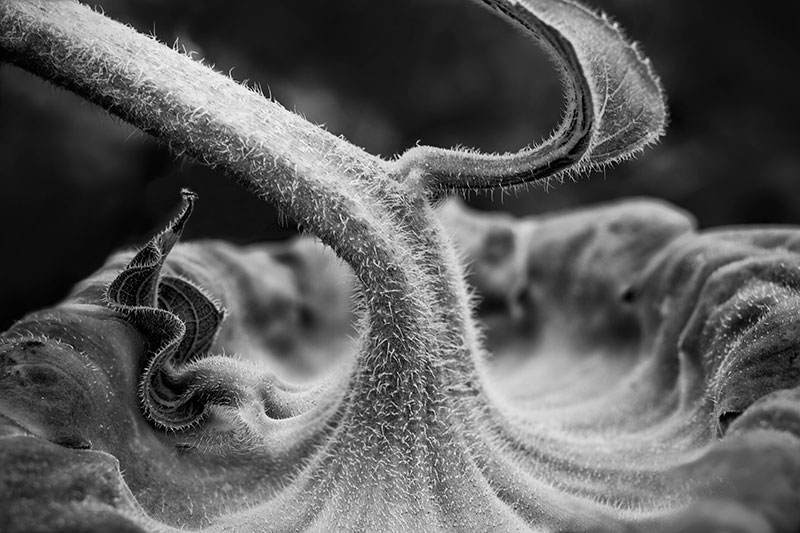 Fuzzy Sunflower Stem. Click the photo to buy a print.