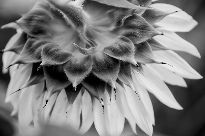 Back of a sunflower, with its head drooping, still sleepy in the morning and waiting for the sunshine