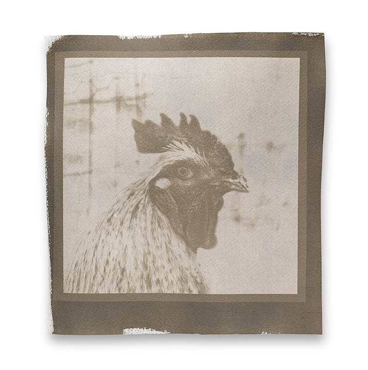 This portrait of a rooster was printed on watercolor paper as a cyanotype, then bleached and toned with black coffee