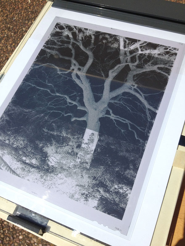 This photograph shows the negative over a half sheet of cyanotype paper, inside my glass frame.