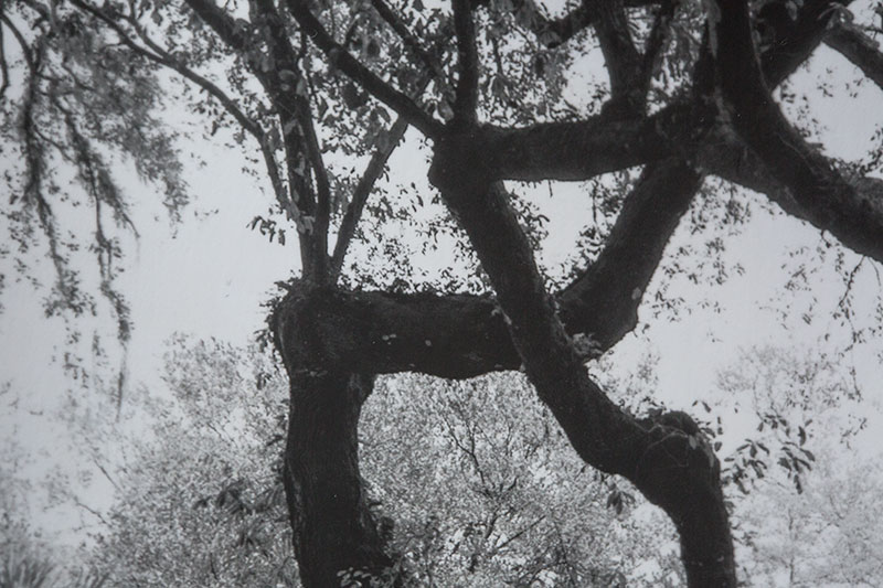 Black and white print of great southern oak trees near Charleston, on Ilford classic mat fiber paper