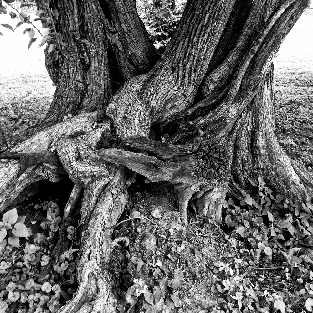 Gnarly Old Tree Landscape Photograph by Keith Dotson - (Square Format)