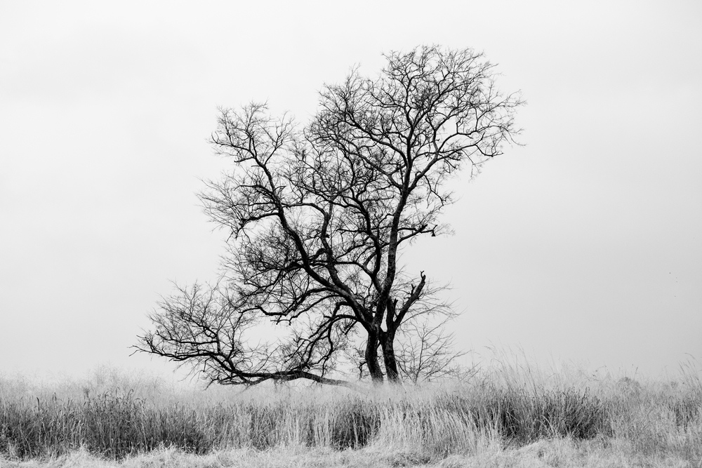 McFadden's Old Tree, a black and white landscape photograph by Keith Dotson