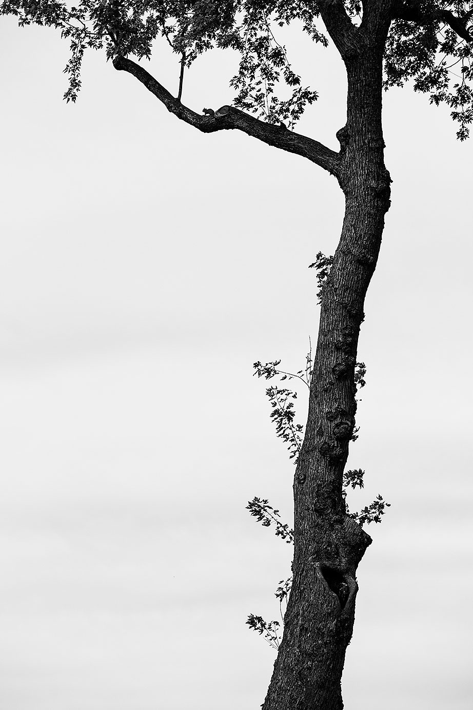 Tall Tree Against an Empty Sky