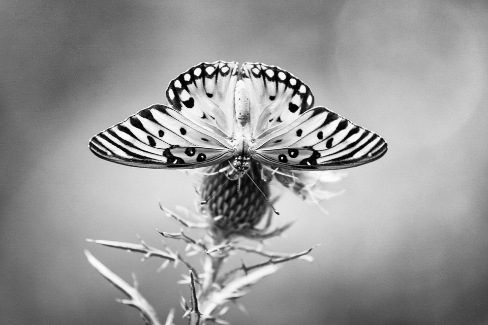 Gulf Fritillary Butterfly on Thistle, black and white photograph by Keith Dotson. Buy a fine art print.