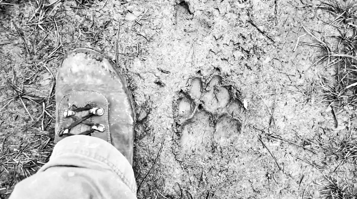 Here's a picture of my hiking boot next to the track of a big dog.