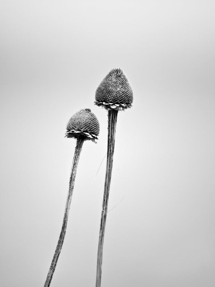 Two Against the Wind - Black and White Photograph of a Pair of Stems in Winter. Buy a print.