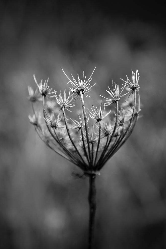 Black and White Photograph of Prairie Seeds. Buy a fine black and white print.