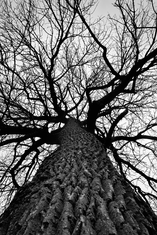 Giant Cottonwood Tree in Winter, a black and white photograph by Keith Dotson