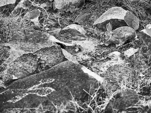 picture of a rabbit and rabbit petroglyph at three rivers petroglyph site in new mexico
