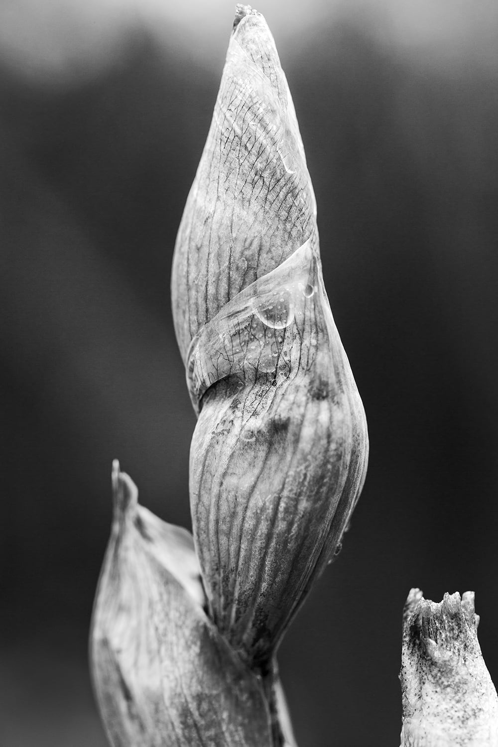 Black and white macro photograph of tightly wound Spring blooms. Black and white photograph by Keith Dotson.