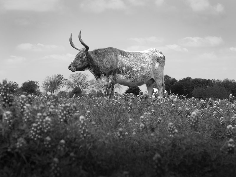 Texas Longhorn in a Field if Bluebonnets, a black and white photograph by Keith Dotson.