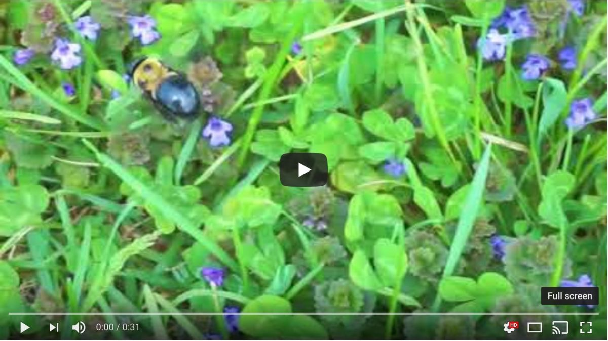 Short video of a bumblebee on purple clover posted from Keith Dotson's photography YouTube channel