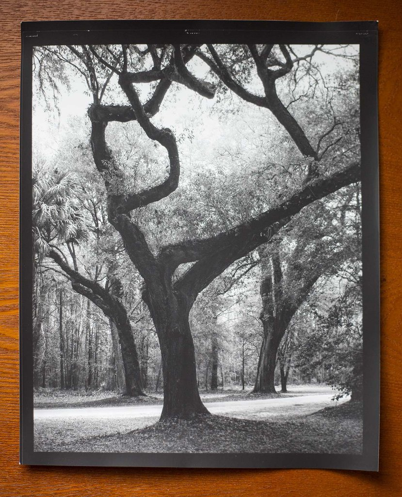 Low Country Trees: This is a hand-printed darkroom photograph exposed on luxurious Ilford Classic Matte paper at 8 inches x 10 inches.