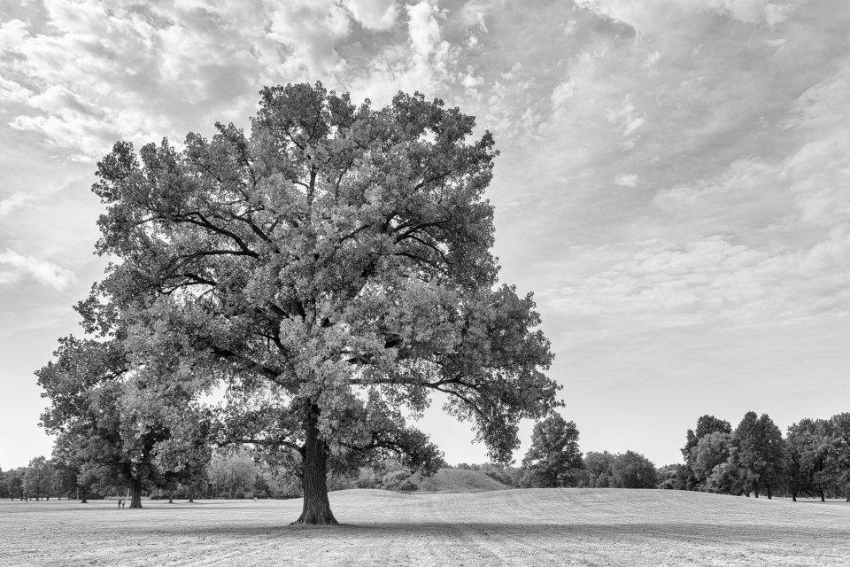 Big Tree at Cahokia Mound Site Illinois. Black and white photograph by Keith Dotson