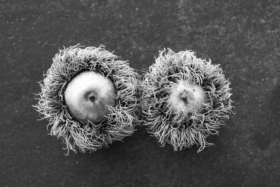 Black and White Photograph of Two Acorns from a Bur Oak Tree by Keith Dotson.