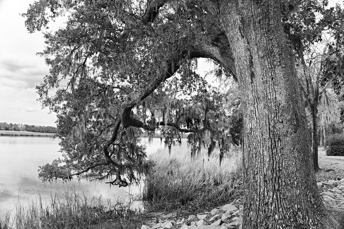 Big Tree on the Ashley River near Charleston