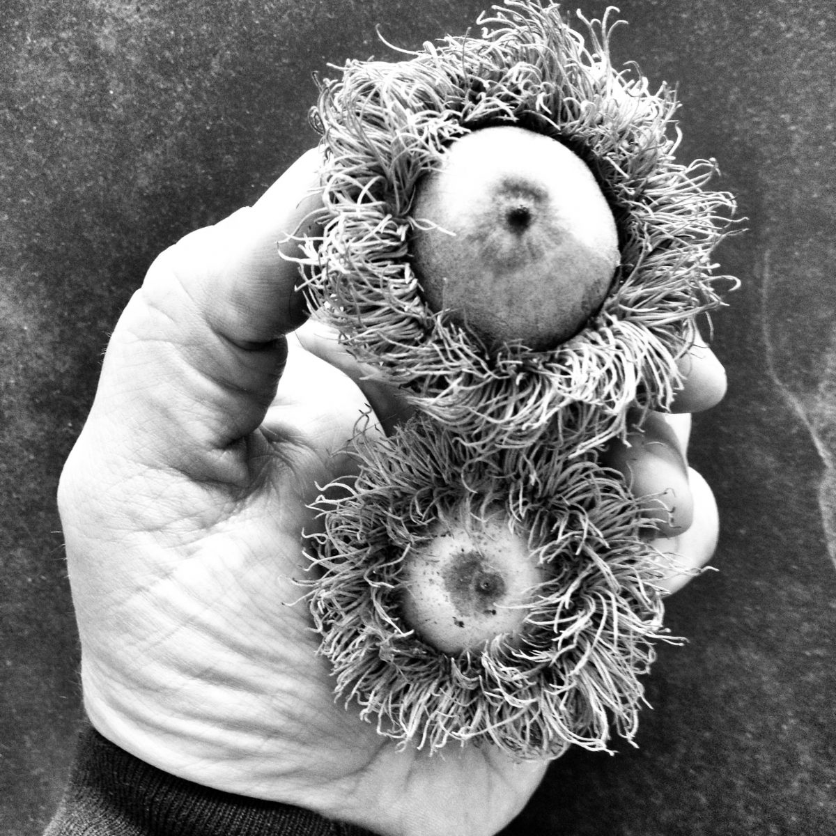 Instagram photo of yours truly holding two big, fuzzy acorns from a bur oak tree