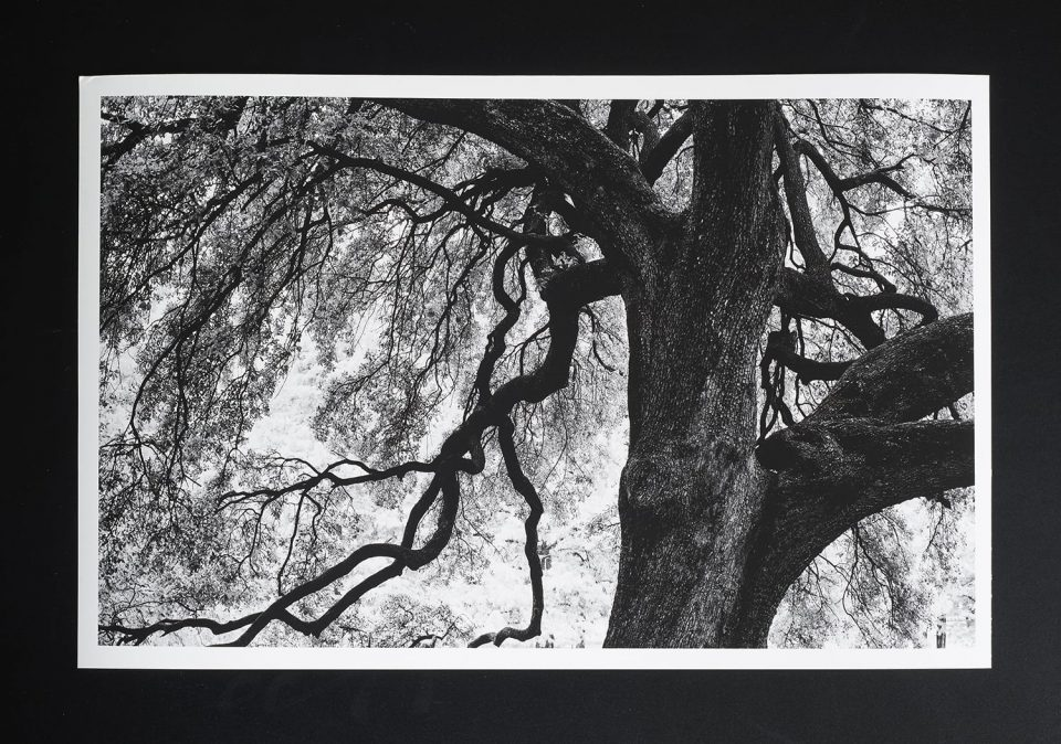 """Photograph of a black and white print on Hahnemühle Photo Rag Matt 310. This is """"Branches of a Mighty Oak."""""""