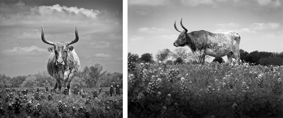 Two Views of a Texas Longhorn in a Field of Bluebonnets by Keith Dotson