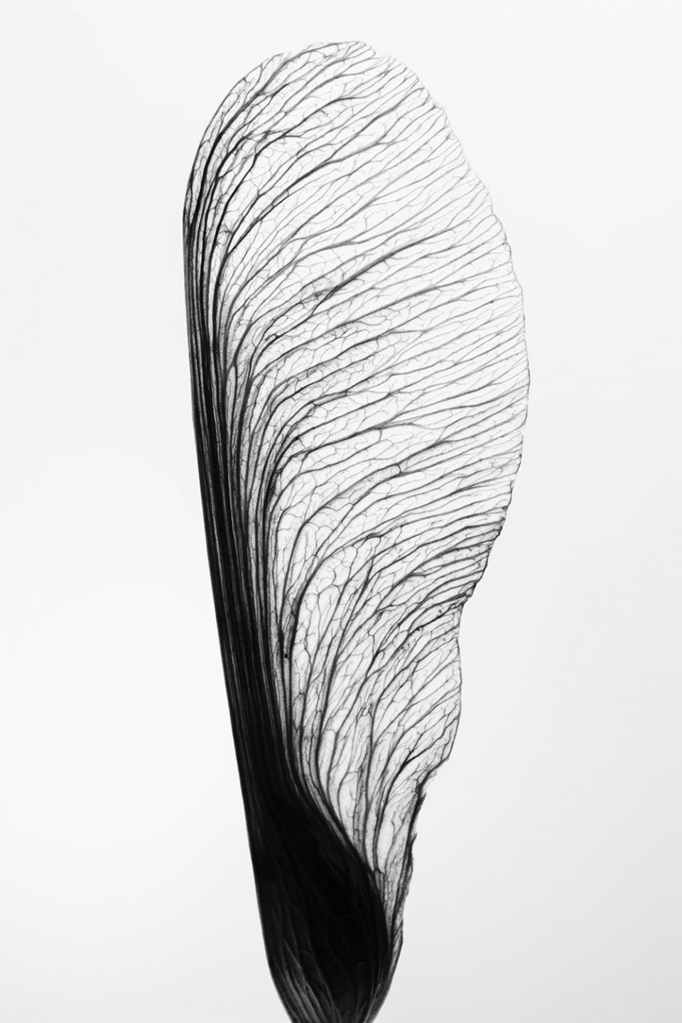 Black and white detail photograph of a seed wing by fine art photographer Keith Dotson. Click to buy a print.