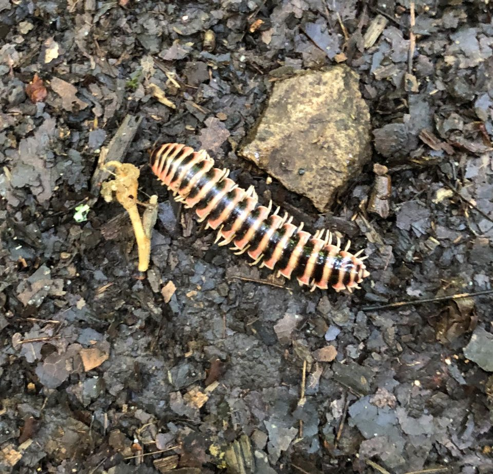 Found crawling amongst the dead leaves on the forest floor. Copyright Keith Dotson, 2019.
