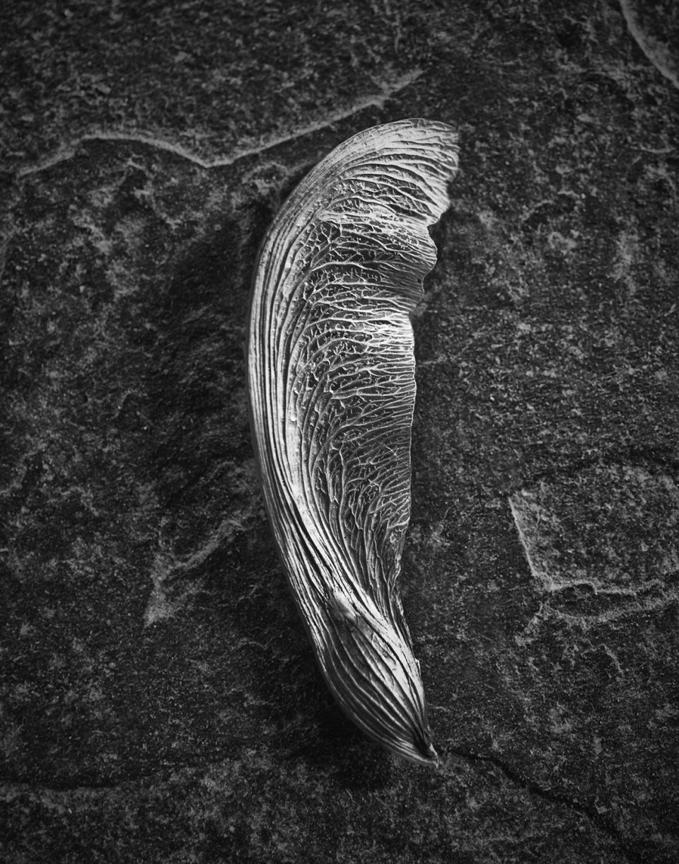 Delivered by the Wind, a black and white photograph of a seed wing by Keith Dotson.