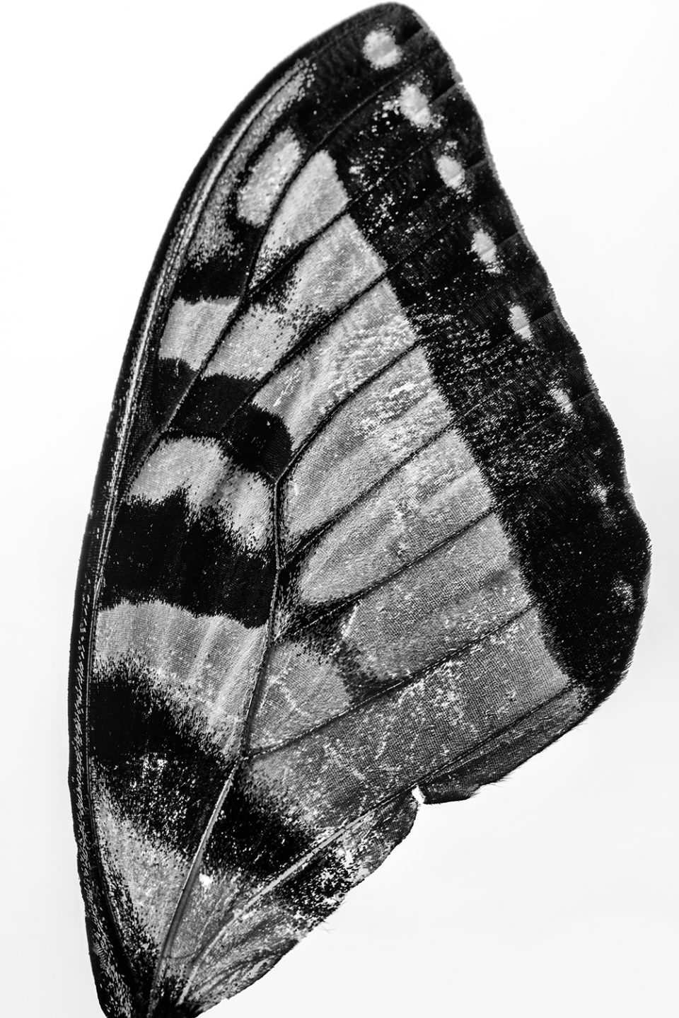Black and white macro photograph of a found butterfly wing