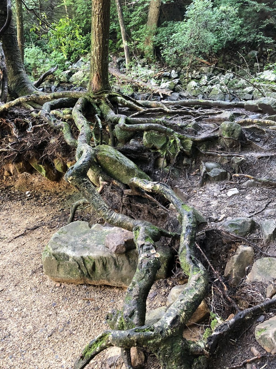 The tree roots along the stream and pool are insanely great: gnarly, twisted, thick, and mossy.