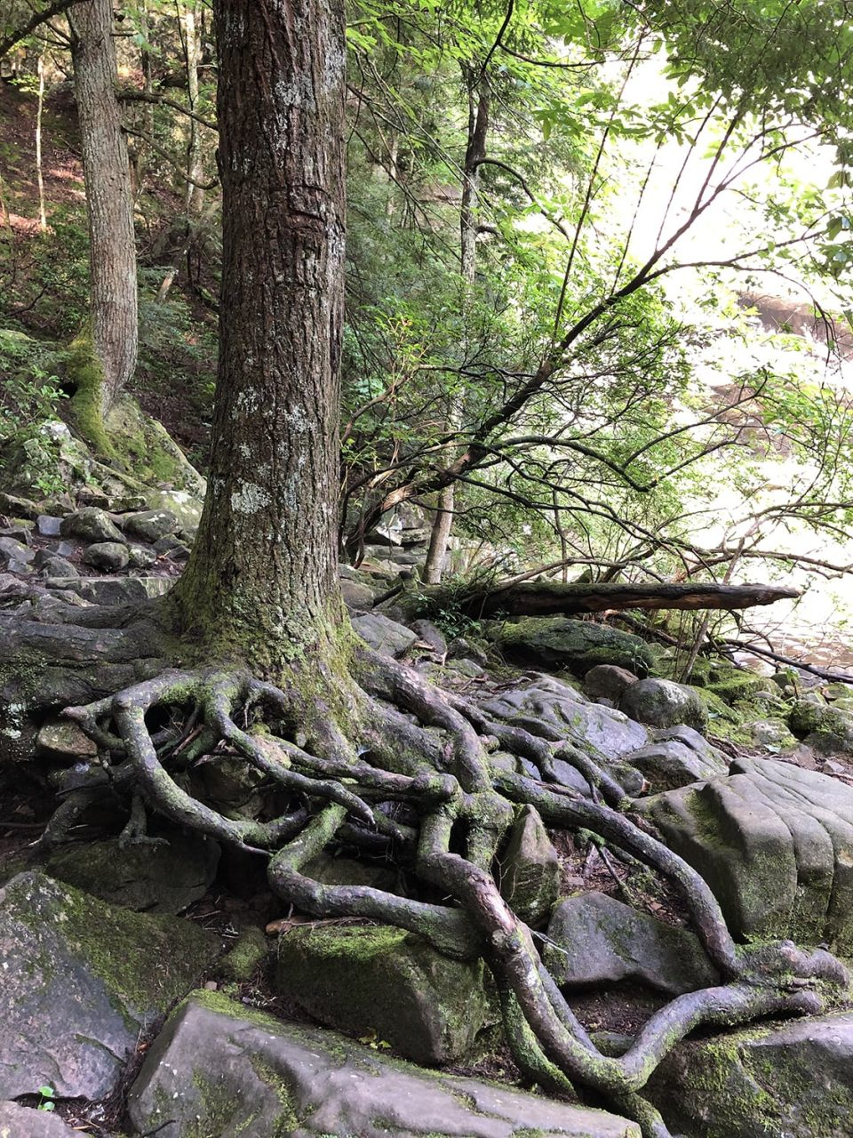 Photograph of twisted tree roots at the base of the waterfall.
