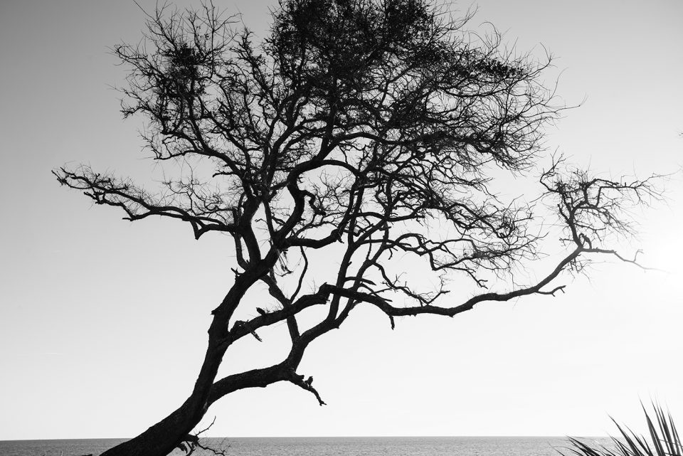 Black and white photograph by Keith Dotson of a living tree at the entrance to Driftwood Beach
