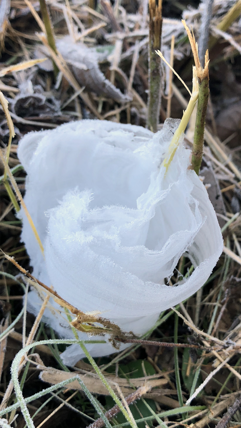 Frost flowers in Tennessee. Photograph shot on November 3, 2019. Copyright Keith Dotson.