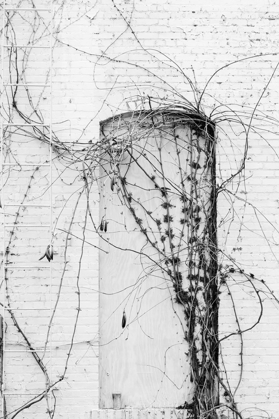 Climbing vines found in an Anniston, Alabama alley. Black and white photograph by Keith Dotson.
