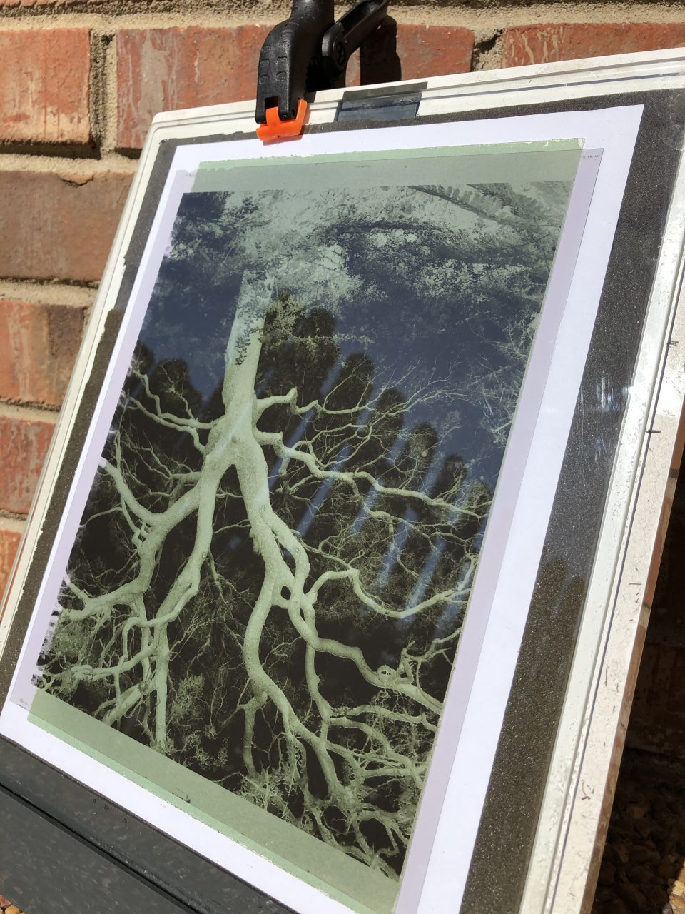 You can print leaves and plants or large negatives. Here I'm exposing an 8 x 10 film negative of my photograph of a great oak tree.