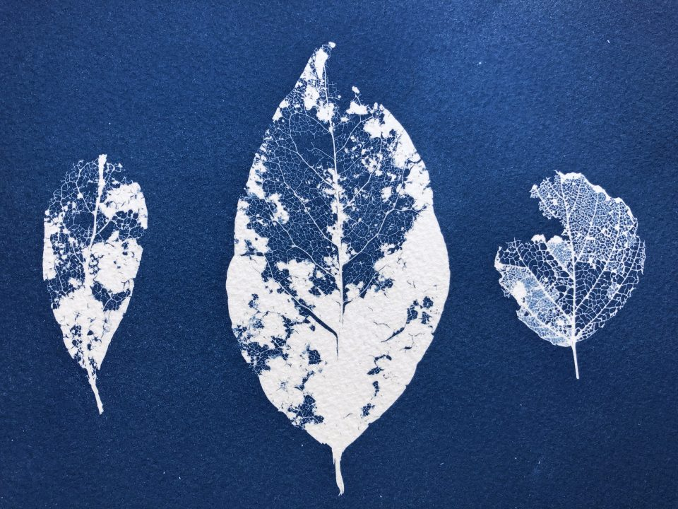 Cyanotype photogram of three dead leaves.