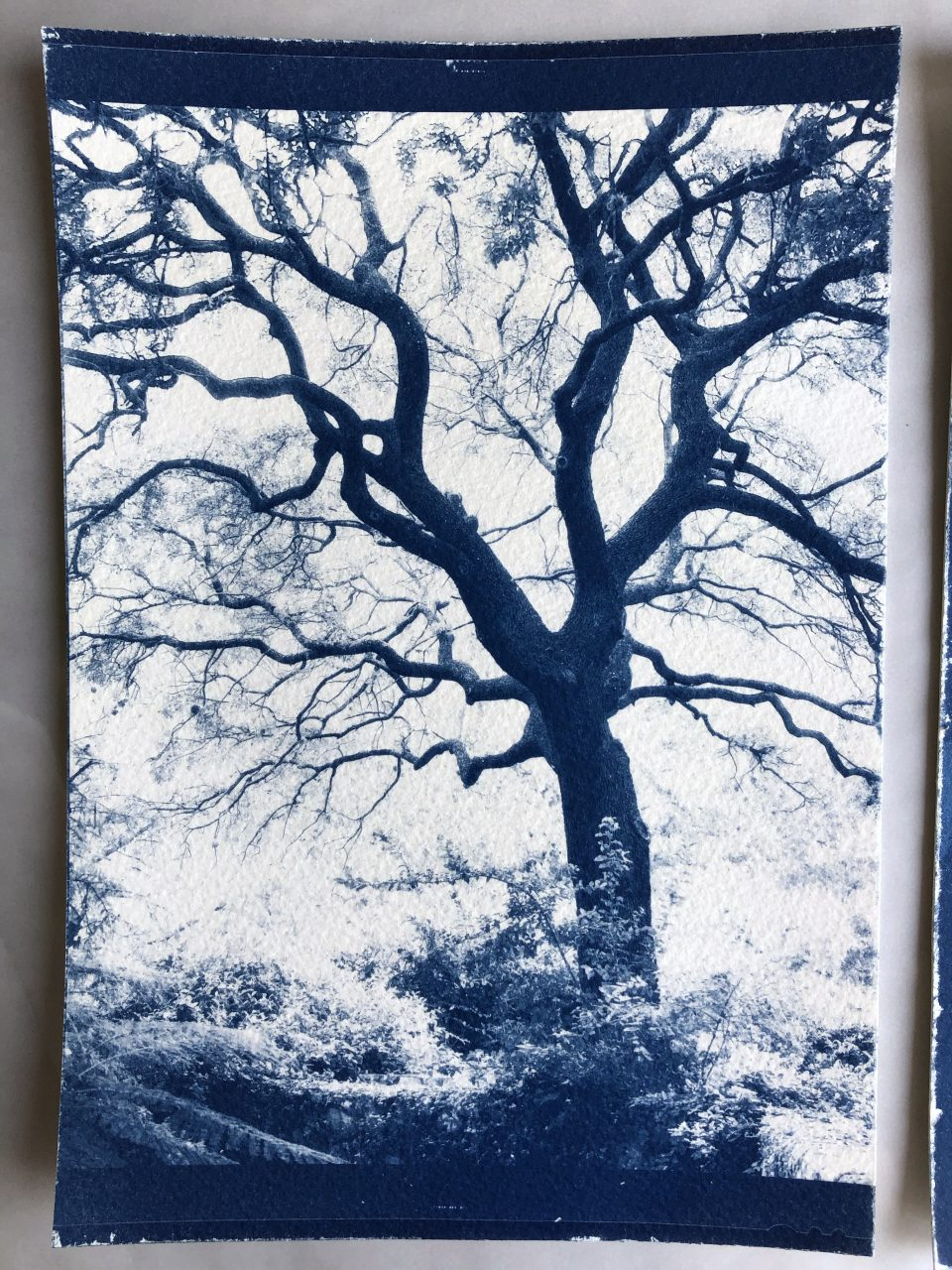Cyanotype print of a giant oak tree made from an 8 x 10 film negative