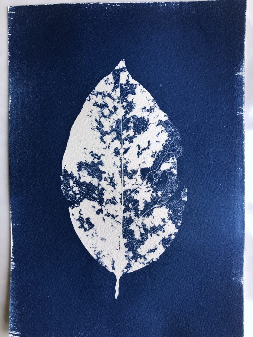 The finished cyanotype leaf print, also known as a photogram