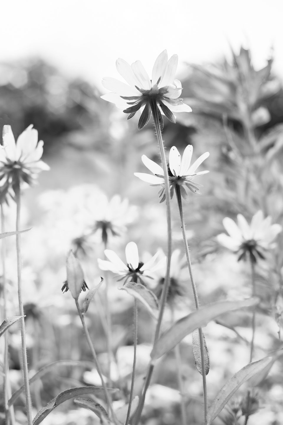 A black and white photograph of the wildflowers found above the hiking trail in the hot summer sun.