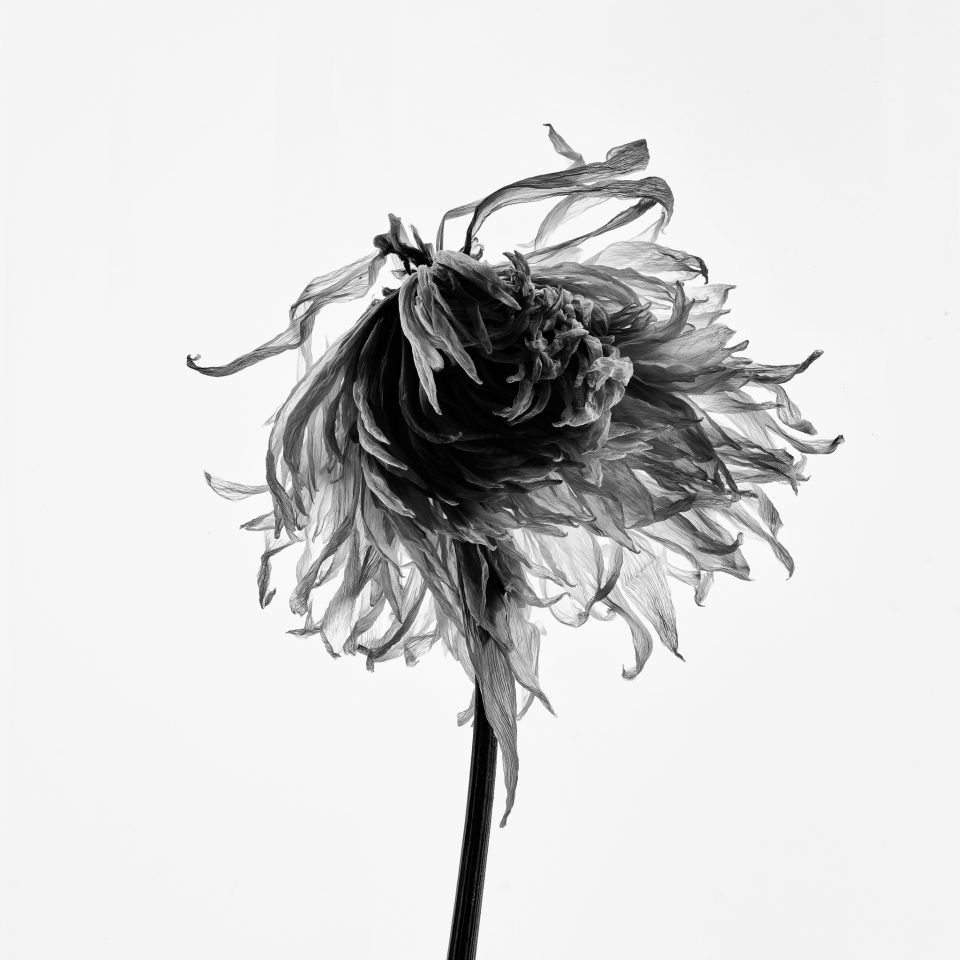 Black and white photograph of a dead flower blossom by Keith Dotson, shot with a macro lens on a backlight surface.