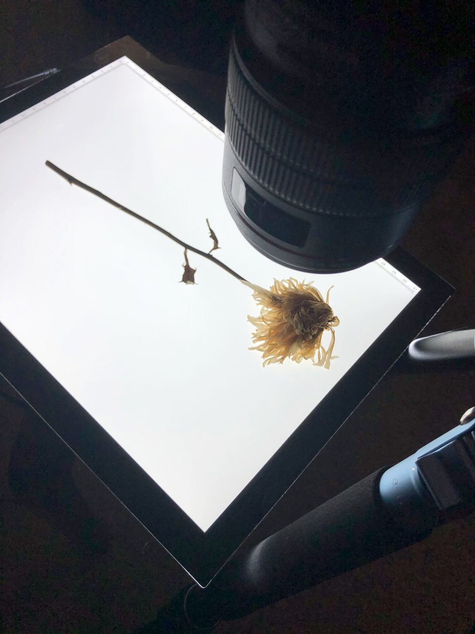 I positioned the flower on a short table, lying flat on a light box, with my camera lens mounted on a tripod pointed down to the flower.