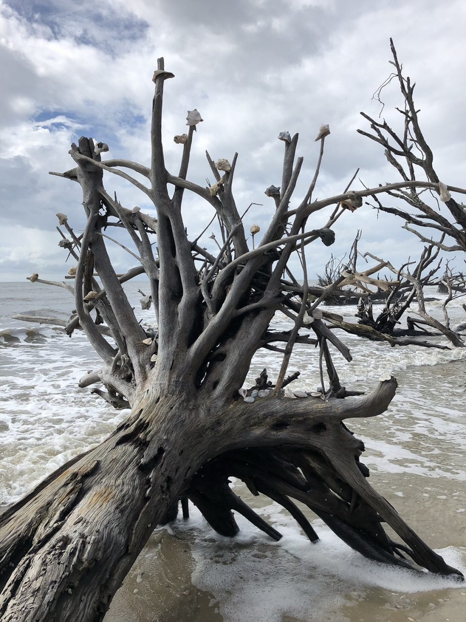 Fallen tree with shells on its roots on the driftwood beach at Pockoy Island, part of the Botany Bay site.