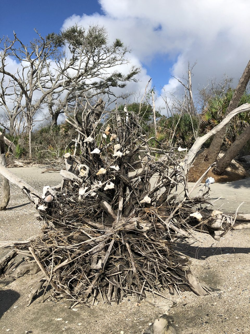 Uprooted tree with shells in the root bed on Driftwood Beach at Pocknoy Island