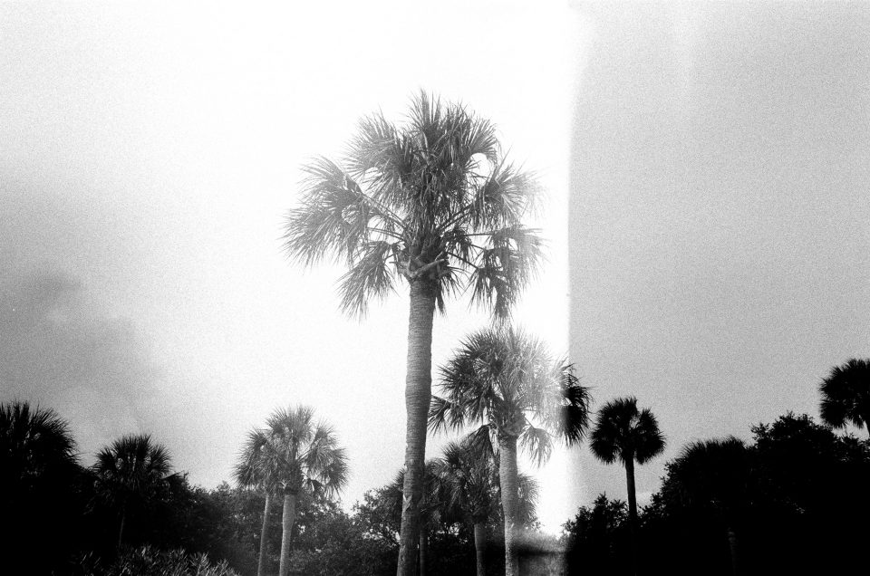 Palm trees photographed in Charleston. Canon AT-1 with Canon FD 28mm lens, on Ilford HP5 film.