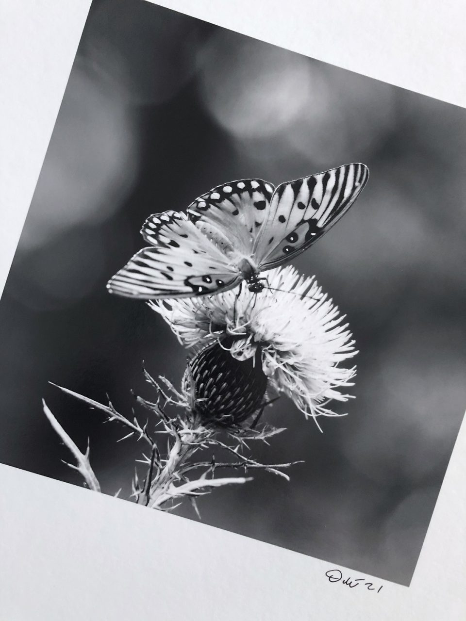 Gulf Fritillary butterfly on a Purple Thistle, a photograph of an actual black and white photo print. This was printed on Hahnemuhle Fine Art Baryta paper. 8 x 8-inches.