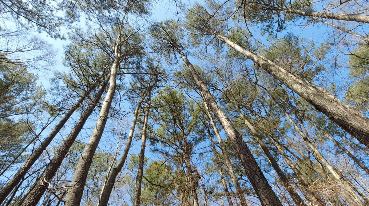 photo looking up at tree tops on a sunny day