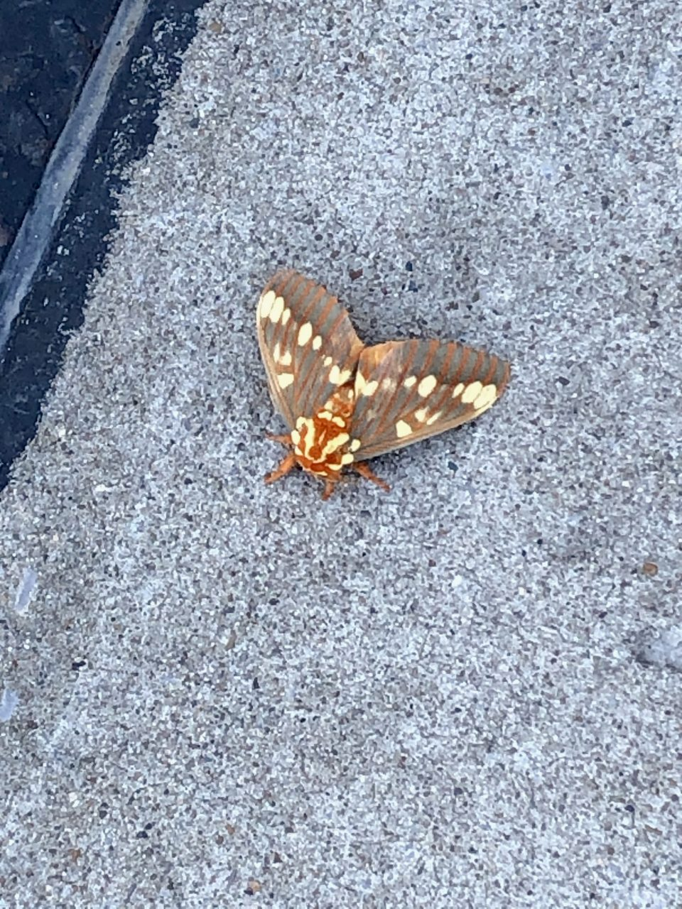 Zoomed photograph of the Royal Walnut Moth shot on my cell phone.