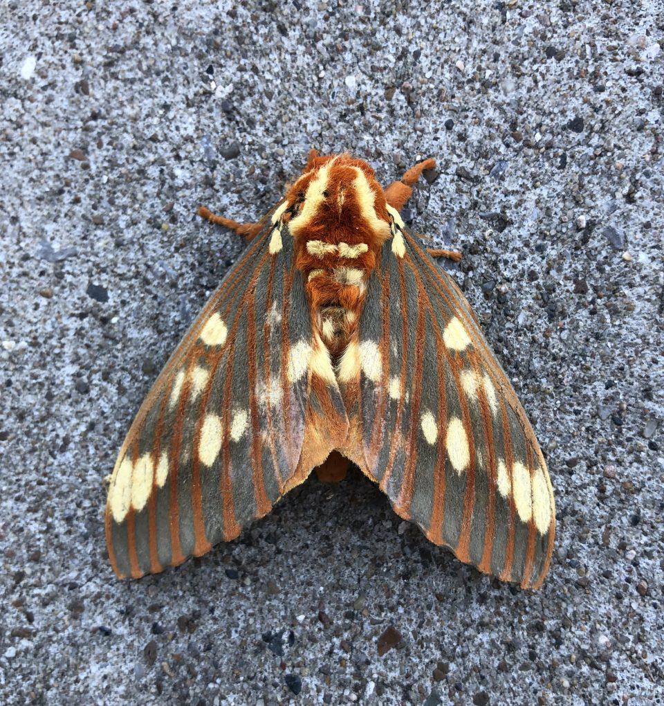 Royal Walnut Moth (Citheronia regalis)