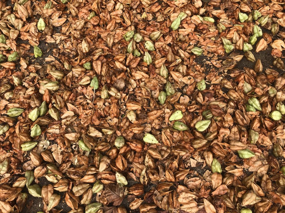 This photograph shows that Goldenrain trees can make quite a mess, shedding seed pods by the hundreds or even thousands.