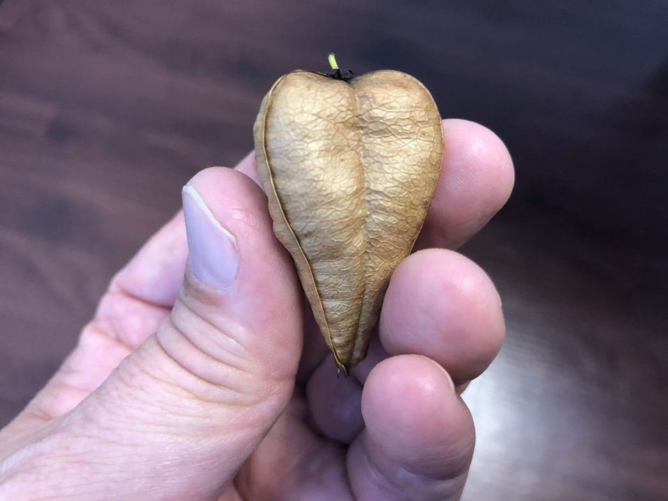A seed pod that reminds me of a paper lantern from the Goldenrain Tree.