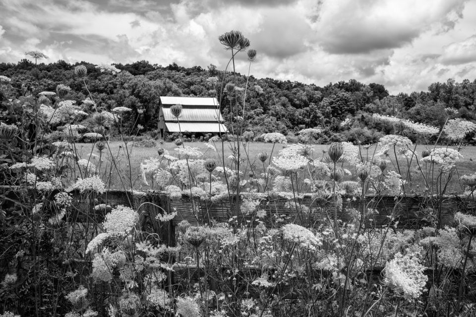 Fence overgrown with Queen Anne's Lace, black and white photograph by Keith Dotson. Buy a fine art print.